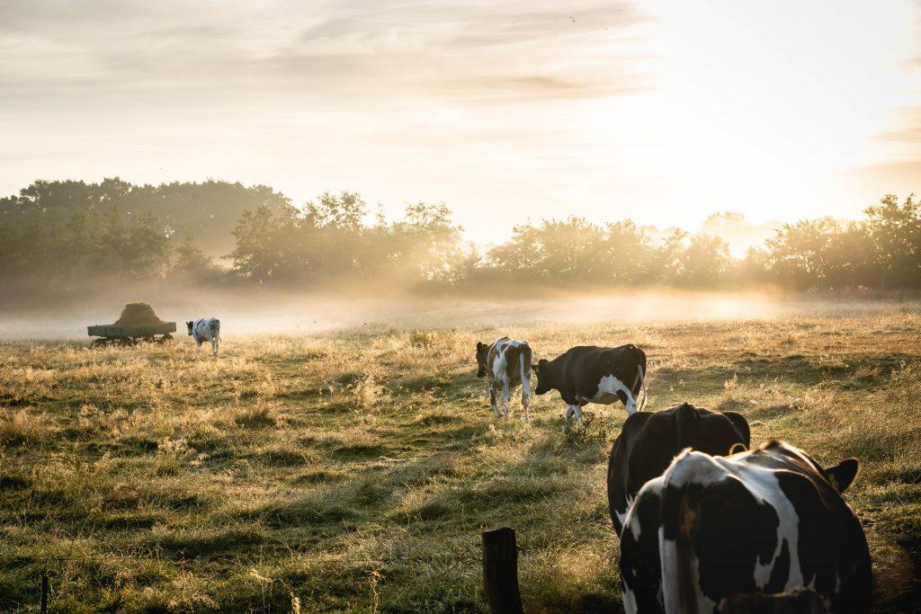 Kühe auf Bauernhof